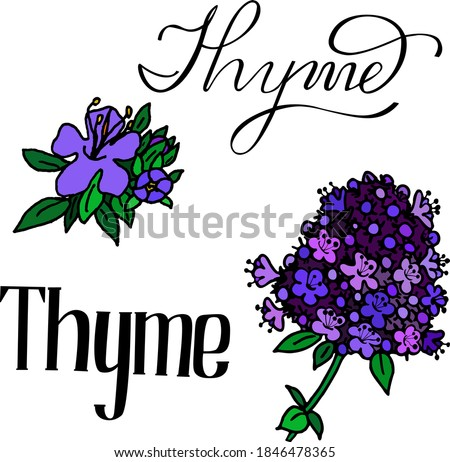 vector illustration of thyme. Herbs aromatic vector illustration. thyme vector icone. herbs vector image.  Aromatic herbs of italian cuisine. Lettering aromatic herbs thyme. colour thyme icone. #1846478365