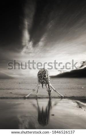 Artistic, black and white, vintage photo of wild, alone South African giraffe, Giraffa giraffa, drinking from waterhole against dramatic background. Wildlife photography in Etosha pan, Namibia.