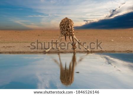 Alone South African giraffe, Giraffa giraffa, drinking from waterhole against dramatic sky. Wildlife photography in Etosha pan, Namibia.