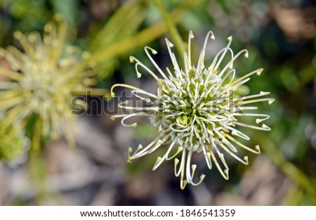 Overhead view of an Australian native Grevillea scapigera flower, family Proteaceae. Common name is the Corrigin Grevillea. Listed as endangered. Endemic to small region of south Western Australia Royalty-Free Stock Photo #1846541359