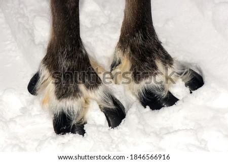 Reindeer sledding ecotourism tour, Finland. ( Deer foot ) Royalty-Free Stock Photo #1846566916