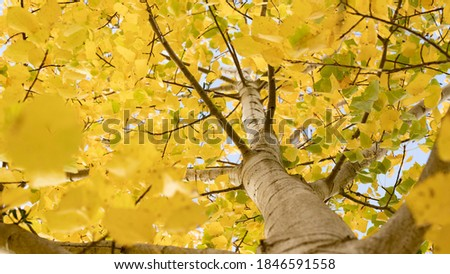 Common aspen or quaking aspen (Populus tremula). Beautiful tree from Europe. Yellow leaves in autumn. Golden tree. Morning lights Royalty-Free Stock Photo #1846591558