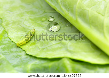 Macro photo of green worm or caterpillar with water drop on vegetable leaves