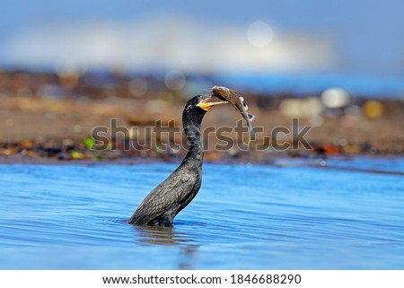 Bird catch fish. Cormorant with fish. Dark bird in nature habitat, in blue sea water. River bird in the nature habitat. Shag from Costa Rica. Animal behaviour near the tropic river. Royalty-Free Stock Photo #1846688290