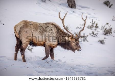 Elk Herd in Yellowstone Park Royalty-Free Stock Photo #1846695781