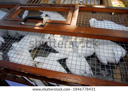 a white dove or carrier pigeon, breeding of feathered flying animal