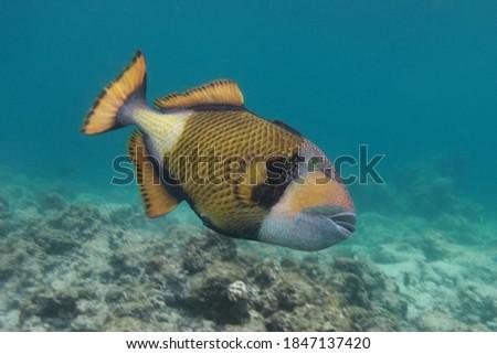titan triggerfish, Balistoides viridescens, swiming in the near shore waters of Kunfunadhoo Island, Baa Atoll, Maldives Royalty-Free Stock Photo #1847137420