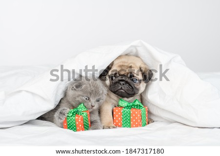 Little pug puppy and little fluffy briton kitten sit next to wrapped gifts under a large white blanket on the bed at home Royalty-Free Stock Photo #1847317180