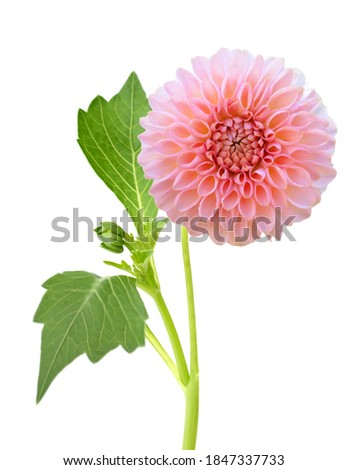 A pink blooming dahlia daisy branch isolated white