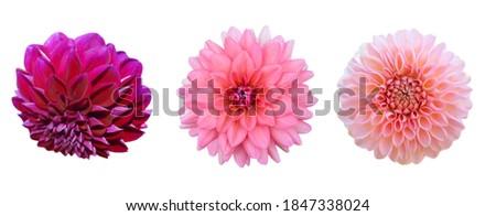 set of blooming America dahlia flowers