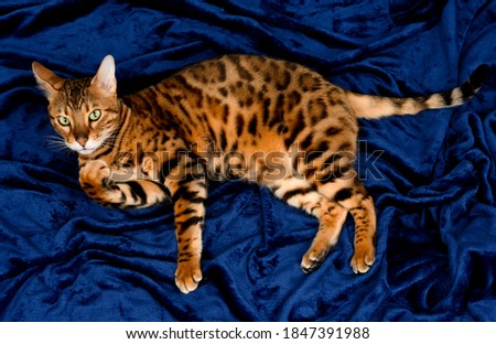 Close up of cute spotted bengal cat with beautiful green eyes, looking at camera, on dark blue background. Royalty-Free Stock Photo #1847391988