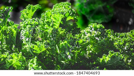 Picture of curly kale growing in the garden.