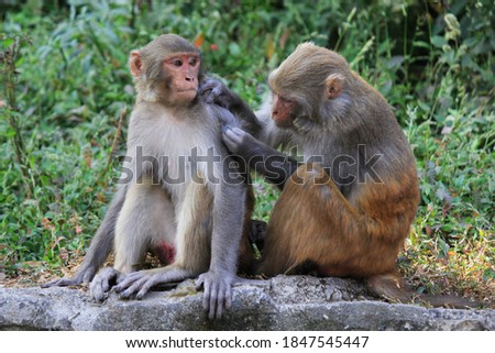 Rhesus Macaque (Macaca mulatta) monkeys lousing each other while sitting on stone in Swayambhunath Monkey temple in Kathmandu, Nepal