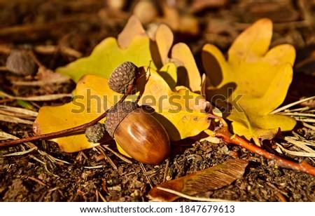 Acorn on autumn leaves view. Acorn fall. Acorn in autumn. Acorn autumn fall Royalty-Free Stock Photo #1847679613