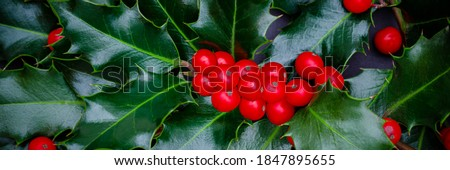 Christmas Holly red berries, Ilex aquifolium plant. Holly green foliage with mature red berries. Ilex aquifolium or Christmas holly. Green leaves and red berry Christmas holly, banner #1847895655