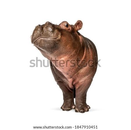 Hippo calf, 3 months old, isolated, Hippopotamus amphibius Royalty-Free Stock Photo #1847910451
