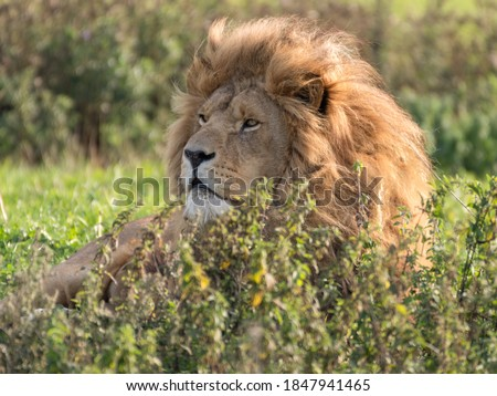 Majestic Male Lion Resting in Tall Grass Royalty-Free Stock Photo #1847941465