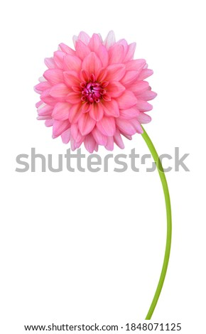 Beautiful pink dahlia branch isolated white