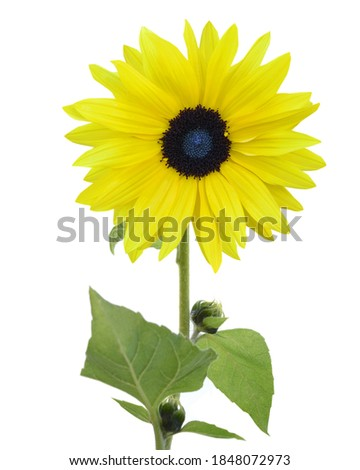 A yellow blooming sunflower branch isolated white