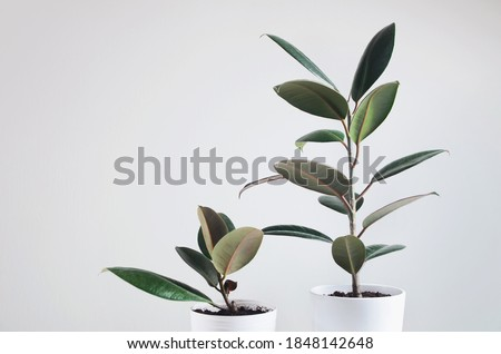 Two modern houseplants with Ficus plant in white pot , Ficus Elastica Burgundy or Rubber Plant Royalty-Free Stock Photo #1848142648
