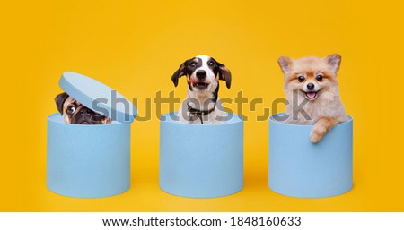 Portraite of fluffy puppy of pomeranian spitz, Jack Russell Terrier and pug. Little smiling dogs sitting in blue gift boxes on bright trendy yellow background. Royalty-Free Stock Photo #1848160633