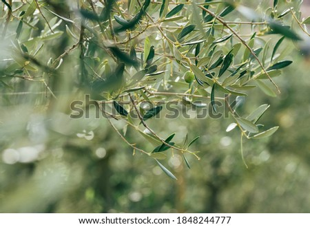 Alone green olive on the olive tree branch with unfocused blurred background with green foliage and bright morning dew drops on the leaves. Eco food and a Mediterranean agriculture concept image Royalty-Free Stock Photo #1848244777