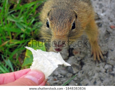 A feeding gophers by human at wild nature. A gopher anb human hand.