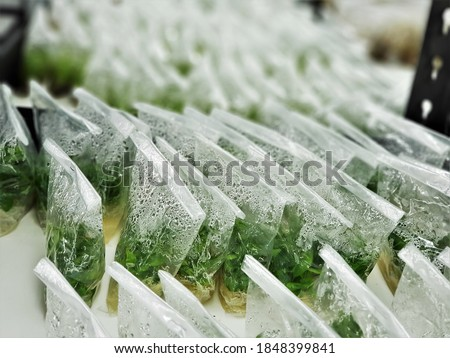 Aquatic plants product on a nutrient medium in plastic bag lined up in tissue culture room. Plant tissue culture is a techniques used to grow plant cells under sterile conditions. Royalty-Free Stock Photo #1848399841