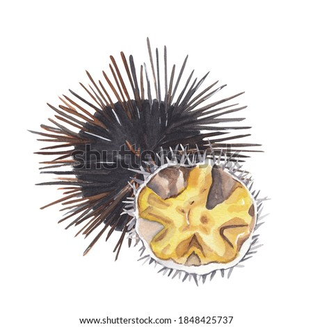 Watercolor urchin hand drawn illustration Watercolor clip art Seafood Ocean animal Isolated on white Great for restautant menu, cook book or recipe card