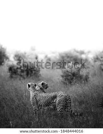 black and white picture of two cheetah on a glass land