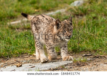 Lynx in green forest with tree trunk. Wildlife scene from nature. Playing Eurasian lynx, animal behaviour in habitat. Wild cat from Germany. Wild Bobcat between the trees #1848451774