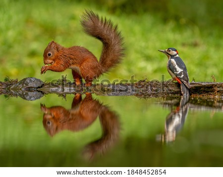 Red Squirrel ( Sciurus vulgaris ) and a Greater Spotted Woodpecker reflected in the pond.