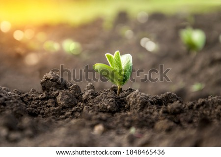 A delicate fragile soybean sprout in the field stretches towards the sun. Agricultural crops in the open field. Selective focus. Royalty-Free Stock Photo #1848465436
