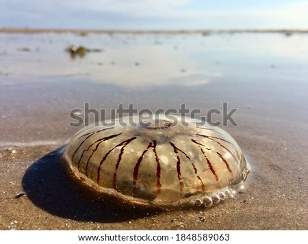 A washed up giant jelly fish aquatic sea creature, stranded and beached on a sunny beach setting. Transparent sea creatures ecology and translucent jellies. Dead animals                       Royalty-Free Stock Photo #1848589063