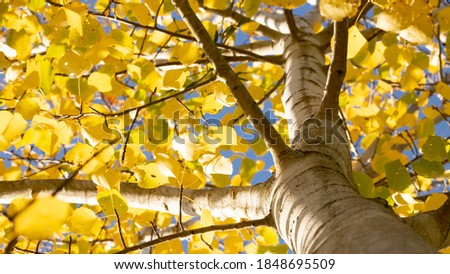 Common aspen or quaking aspen (Populus tremula). Beautiful tree from Europe. Yellow leaves in autumn. Golden tree. Morning lights. Wild forest.  Golden tree. Bottom photo, from below. November Royalty-Free Stock Photo #1848695509