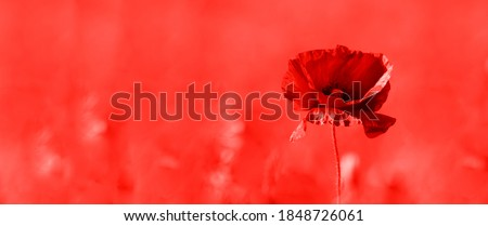 Poppy flower or papaver rhoeas poppy with the light. Red color filter. Flat lay long web banner copy space