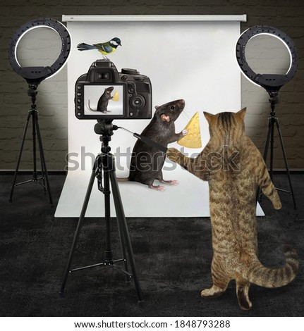 A cat photographer is photographing a black rat with a piece of cheese in its photo studio.