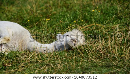 A young white alpaca is lying on the meadow, happily relaxing