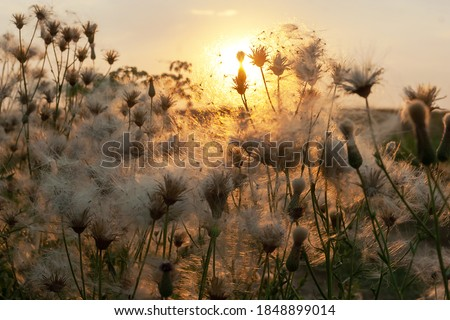 Dry Thistles flowers closeup in wild meadow with blurred background and bokeh sunlight. Abstract natural Beautiful pattern with neutral colors, Minimal, stylish, trend concept. Space for text. Royalty-Free Stock Photo #1848899014