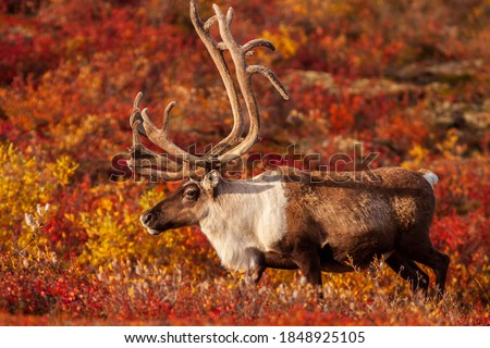 Curious Barrenland Caribou bull walks on the colourful arctic tundra in Canada's Northwest Territories Royalty-Free Stock Photo #1848925105