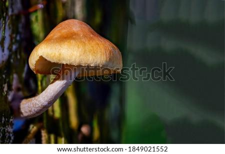 Wood mushroom close up view. Wood shroom. Wood mushroom macro view. Wood mushroom Royalty-Free Stock Photo #1849021552