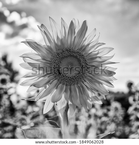 Single sunflower with honey bee in black and white tones close up
