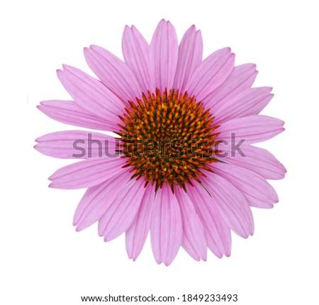 echinacea angustifolia, coneflower pink daisy isolated white