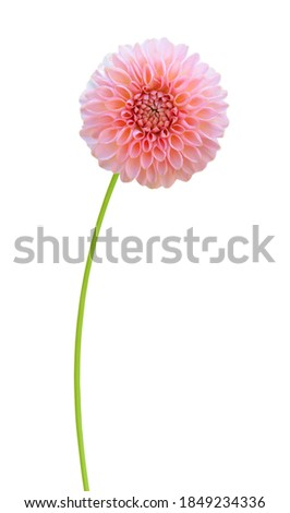 A  'welcome' dahlia daisy flower isolated white