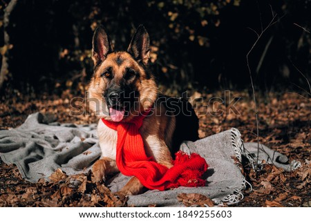 Charming curious thoroughbred dog at an autumn photo shoot. Beautiful picture of the dog for calendar. A German shepherd with a red scarf lies on a gray blanket in a yellow autumn forest and poses.