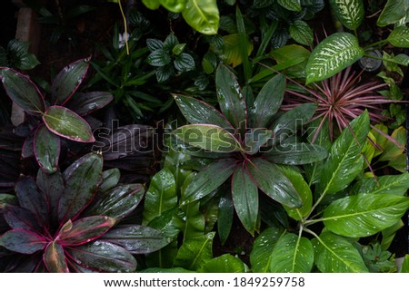 Top view of the Ti plant in the garden with other plants. Royalty-Free Stock Photo #1849259758
