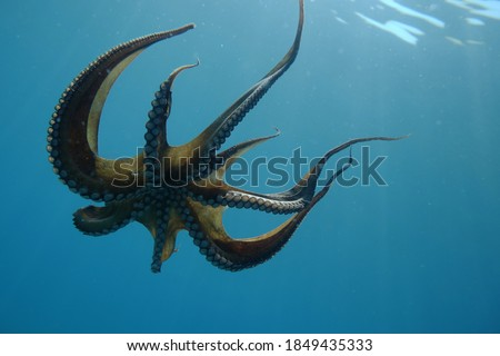 underwater pictures, octopus, from italian sea