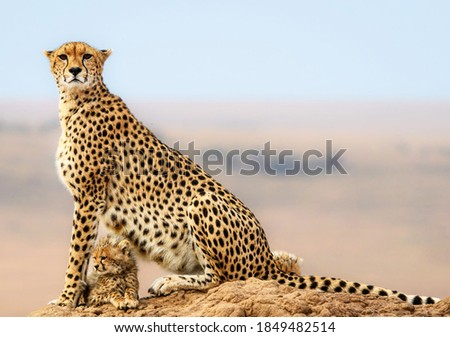A closeup of a cheetah sitting on a rock with its baby