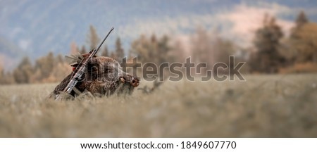 Caught a large wild boar as a hunting trophy, (Sus scrofa), beautiful white teeth. Royalty-Free Stock Photo #1849607770