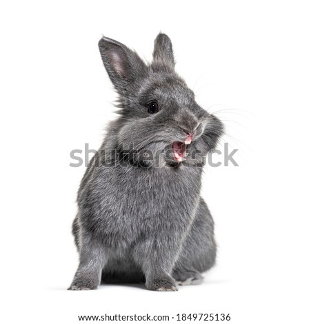 Expressive Grey young rabbit standing in front, isolated, making a face Royalty-Free Stock Photo #1849725136
